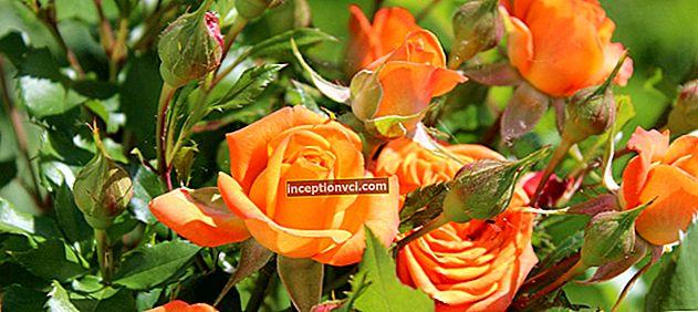 Como cuidar das rosas: dicas comprovadas de jardineiros experientes