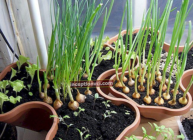 Uma horta no parapeito da janela. Como cultivar 5 tipos de suas verduras favoritas